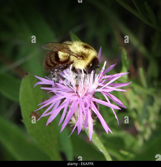 Bee on a flower harvesting flower nectar making honey to bring back to the hive while fertilizing plants as a symbol - Stock Image