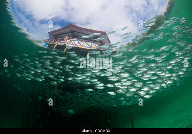 Shoal of Yellowstripe Scad in Lagoon of Ahe Island, Selaroides leptolepis, Cenderawasih Bay, West Papua, Indonesia - Stock Image