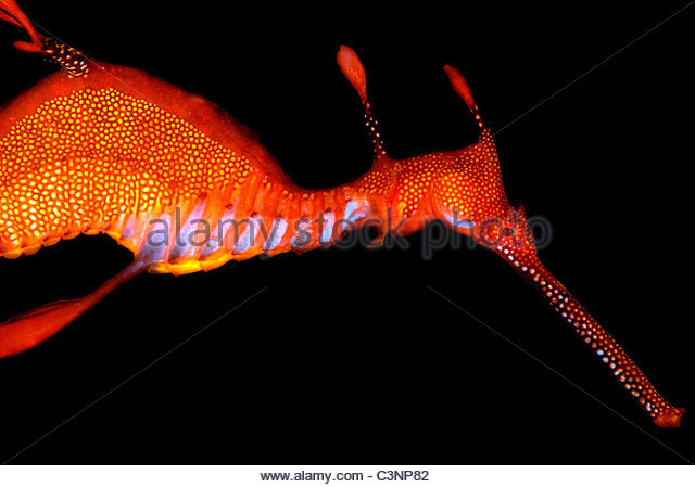 Weedy Seadragon - Stock Image