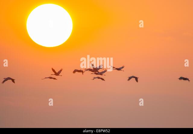 Sandhill Cranes flying at sunrise. - Stock-Bilder