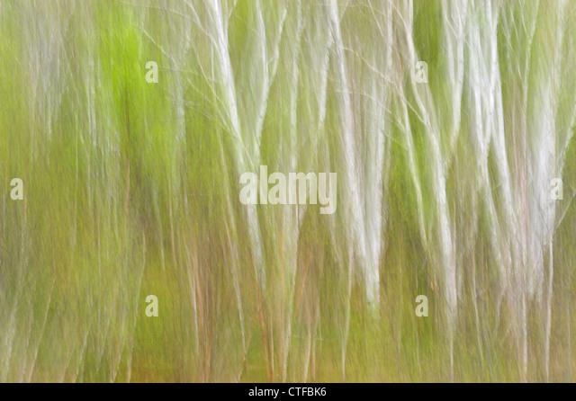 Spring birch trees (Camera movement), Greater Sudbury, Ontario, Canada - Stock Image