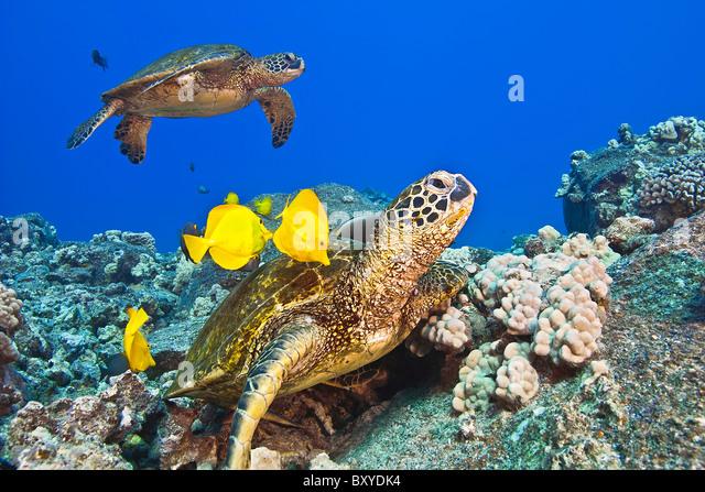 Green Sea Turtle cleaned by Tangs, Chelonia mydas, Big Island, Hawaii, USA - Stock-Bilder