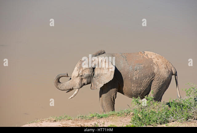 Elephant with mud lifting trunk - Stock Image