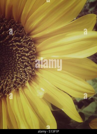 A closeup of a sunflower with a damaged petal. - Stock Image