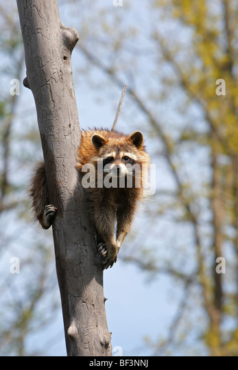 Raccoon (Procyon lotor) on a tree. - Stock Image