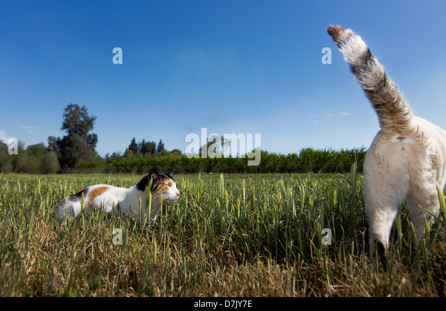 Two cats outdoors playing in grass with tail flicked up - Stock Image