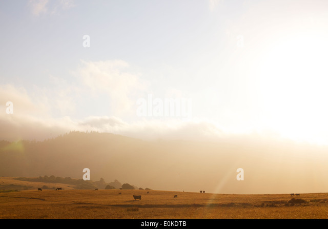 The fog rolls in in the distance of a landscape of cows grazing, silhouetted against a sunset. - Stock Image