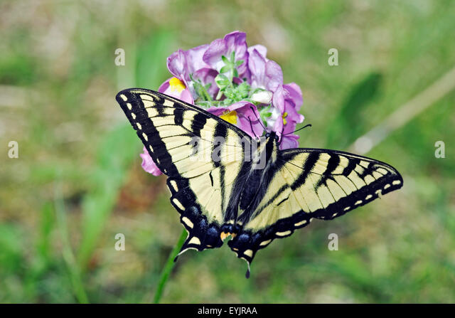 Swallow-tail Butterfly feeding on red clover flower close up - Stock Image