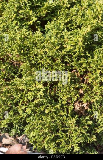 Dwarf Sawara False Cypress, Chamaecyparis Pisifera Tsukomo, Cupressaceae Family - Stock Image