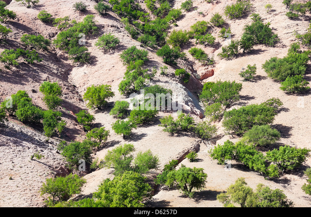 Argan trees (argania spinosa) in Morocco. - Stock Image