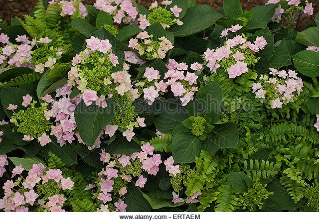 Hydrangea 'Romance Pink' - Stock-Bilder
