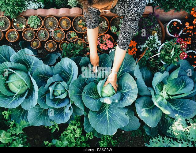 USA, California, Santa Clara County, Woman working in vegetable garden - Stock Image