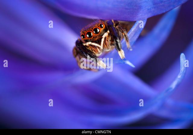 Jumping spider (Euophrys frontalis) male amongst flower petals, Peak District National Park, Derbyshire, UK. June. - Stock Image