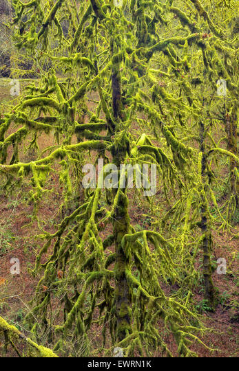 Moss covered Maple trees. Silver Falls State Park, Oregon. - Stock-Bilder