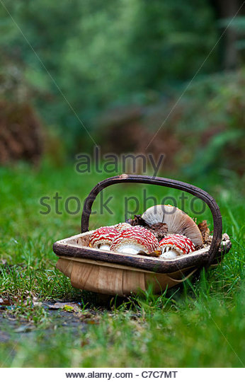 Amanita muscaria. Foraged Fly agaric mushroom in a trug - Stock Image