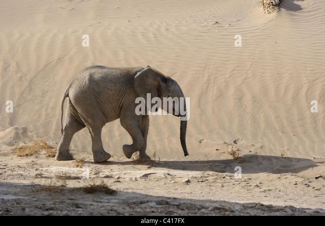 Desert Elephants, Loxodonta africana, Hoanib dry river, Namibia, Africa, January 2011 / Wüstenelefanten - Stock Image