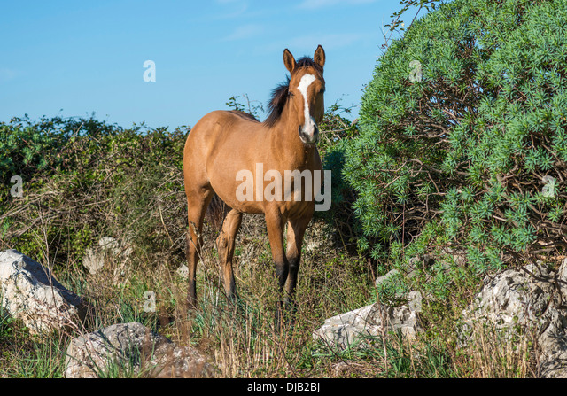Horse, mare standing on rocky terrain, Parco delle Madonie, Madonie Regional Natural Park, near Collesano, Province - Stock Image