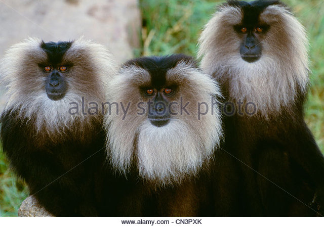 Lion-tailed macaque, indigenous to Western India - Stock Image