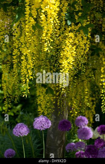 Laburnum with Alliums growing beneath - Stock Image