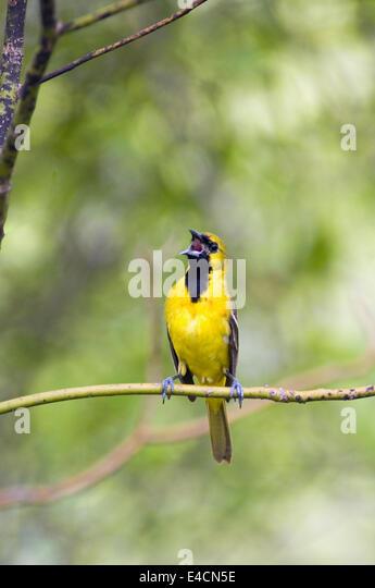Juvenile Male Orchard Oriole Singing - Stock Image