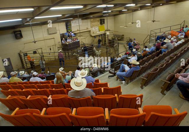 Livestock auction, San Angelo Producer's Market, San Angelo, Texas, US - Stock Image