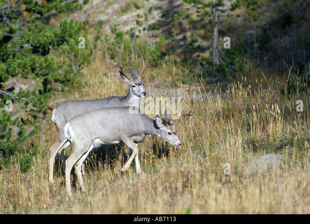 Two mule deer bucks graze in a Yellowstone National Park meadow COPYRIGHT DUANE BURLESON - Stock Image