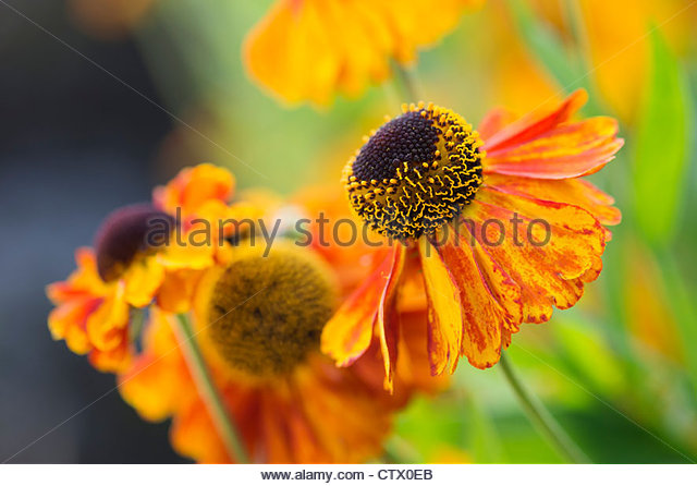 Helenium 'sahin's early flowerer' . Sneezeweed flower - Stock Image