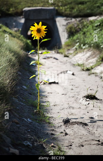 Lonely flower in a gutter with garbage and dirt. Desire for life concept. - Stock-Bilder