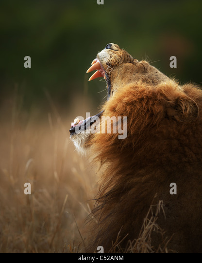 Lion displays dangerous teeth when yawning - Kruger National Park - South Africa - Stock Image