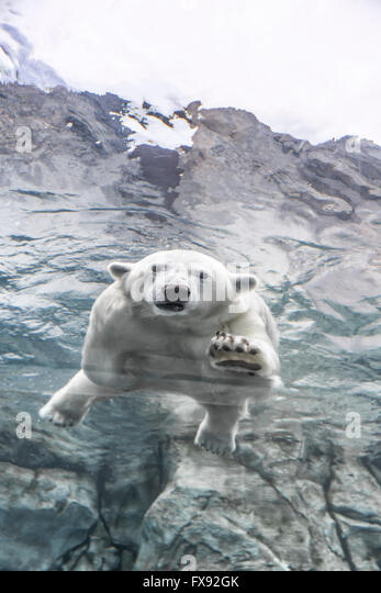 Polar Bear swimming underwater at the Journey to Churchill, Assiniboine Park Zoo, Winnipeg, Manitoba, Canada. - Stock Image