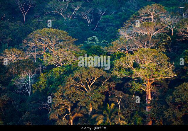Large Cuipo trees in Soberania National Park, Republic of Panama. - Stock-Bilder