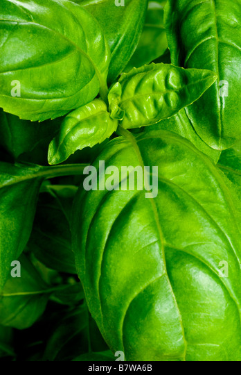 FRESH BASIL LEAVES ON GROWING ON AN ACTUAL POTTED PLANT - Stock Image