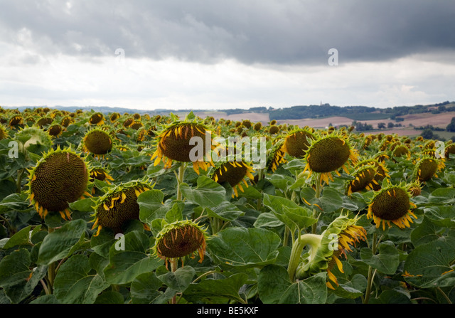 A field of sunflowers with their heads down against a gray sky - Stock Image