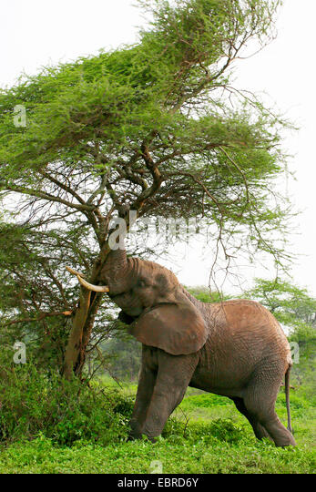 African elephant (Loxodonta africana), measuring its forces at a tree, Tanzania, Serengeti National Park - Stock Image