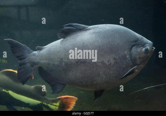 Tambaqui stock photos tambaqui stock images alamy for Pacu fish for sale