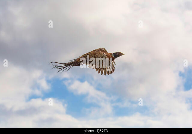 common pheasant, Caucasus Pheasant, Caucasian Pheasant (Phasianus colchicus), flying in the sky, Germany, Bavaria, - Stock Image