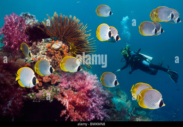 Panda butterflyfish with featherstars and soft corals on coral reef, woman diver in background.  Misool, West Papua, - Stock Image