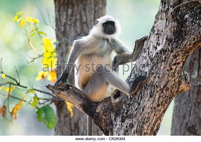 Hanuman langur, Ranthambhore National Park, India - Stock Image
