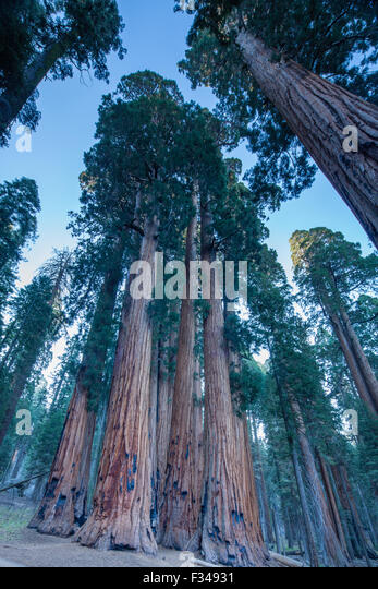 the Senate Group of giant sequoia trees on the Congress Trail in Sequoia National Park, California, USA - Stock-Bilder