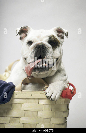 English Bulldog - Stock Image