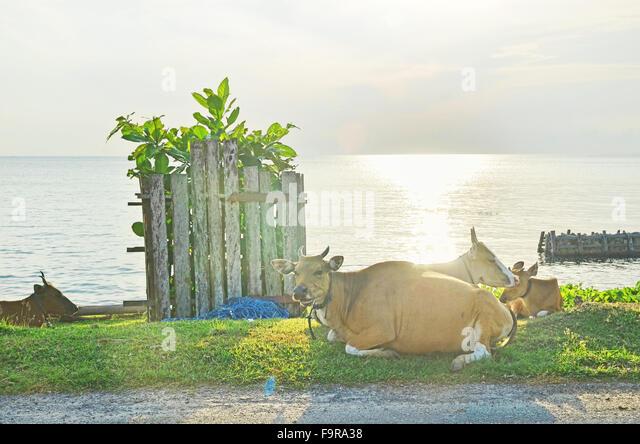 Cows on the beach in Biduk-Biduk village, Berau, East Borneo - Stock Image
