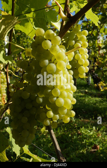 fruit grape vine vitis vinifera stock photos fruit grape. Black Bedroom Furniture Sets. Home Design Ideas