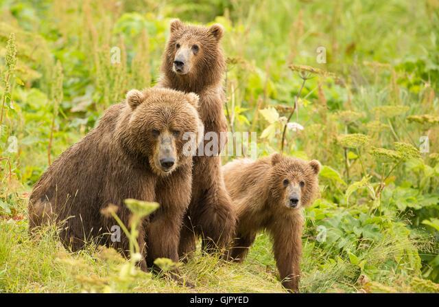 kodiak-brown-bear-cubs-seek-protection-b