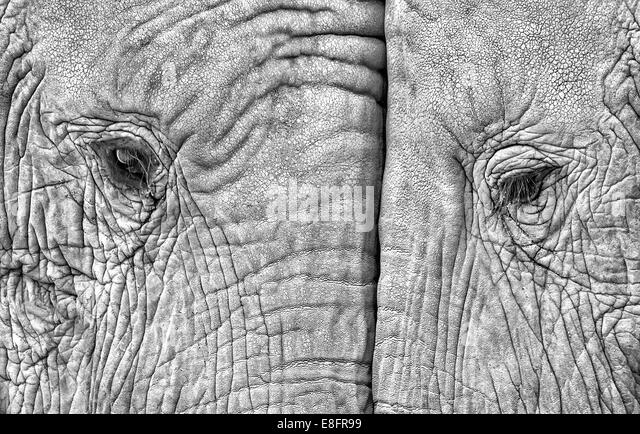 Close-up of two elephants standing face to face - Stock Image