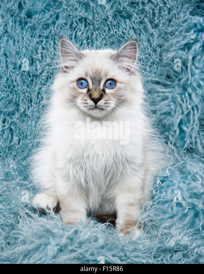 portrait of fluffy white Ragdoll kitten with piercing blue eyes on turquoise long hair textured background - Stock Image