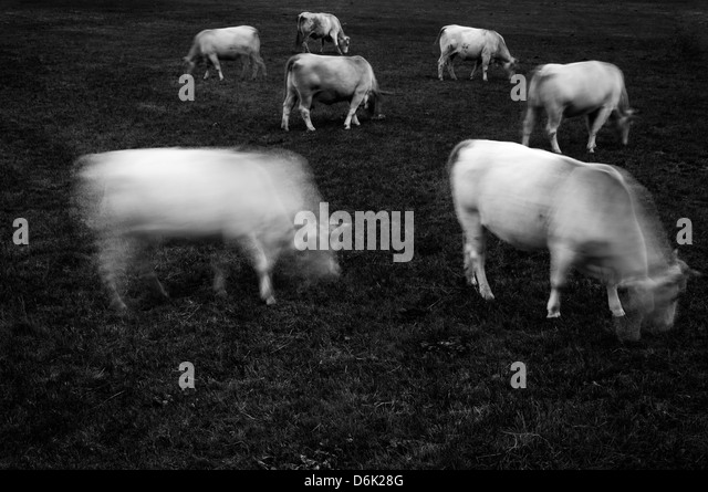 Cows grazing - Stock Image