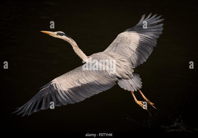 Crane bird on black background - Stock-Bilder