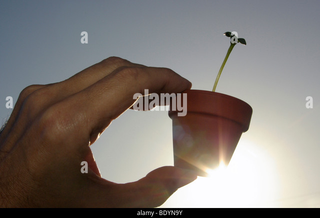 Young plant, seedling  in small plant pot held up against the sun (Photosynthesis) - Stock Image