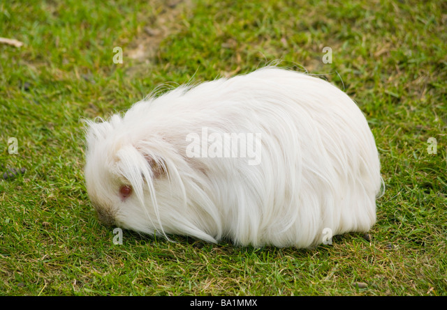 White Guinea Pig Cavia porcellus household pet pets pigs - Stock Image