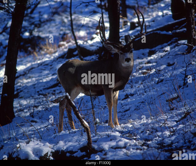 Buck Mule Deer Winter - Stock Image
